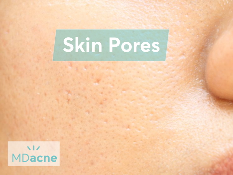 Skin pores - sebaceous (oil) glands, which release oil onto the skin for lubrication and protection